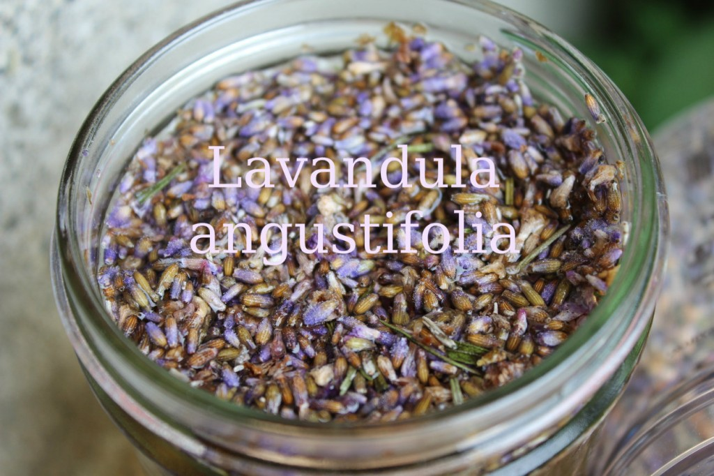 lavender-infusion